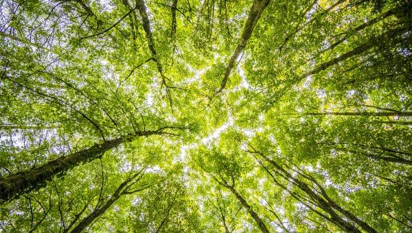 trädkronor i solsken fotograferade underifrån.