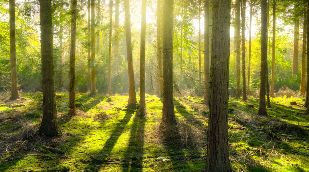 Bild på skogsglänta med tallar i motljus